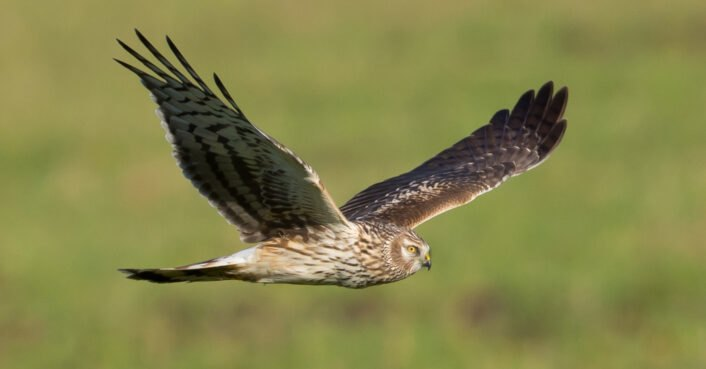 Hen Harriers on the verge of extinction due to gamekeepers killing illegally