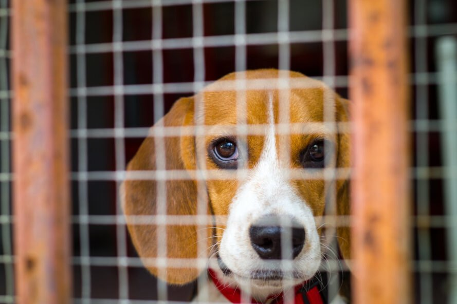 Animal testing labs kill thousands of dogs annually Humane