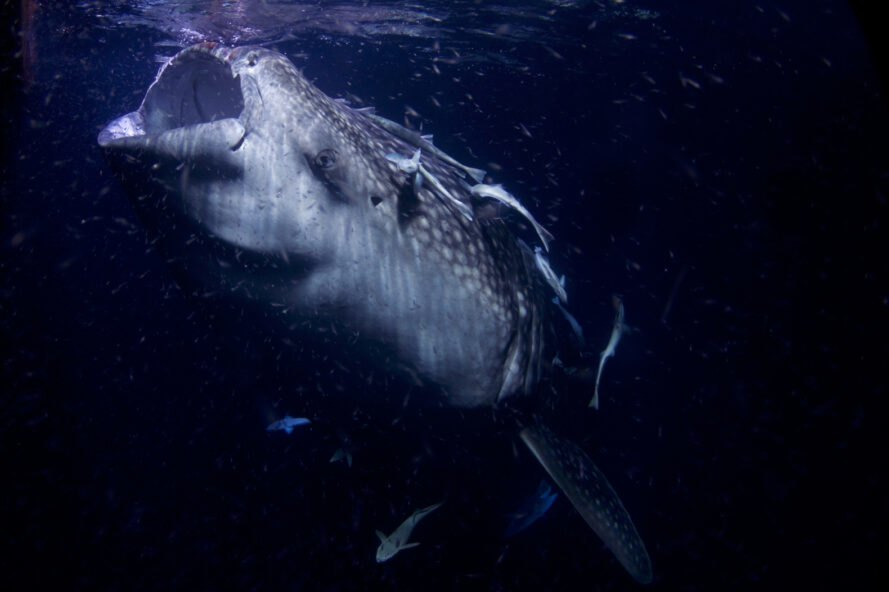 whale shark opening mouth to feed