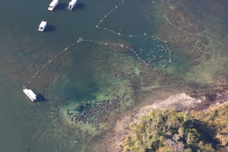 manatees in large pod gathered in sanctuary