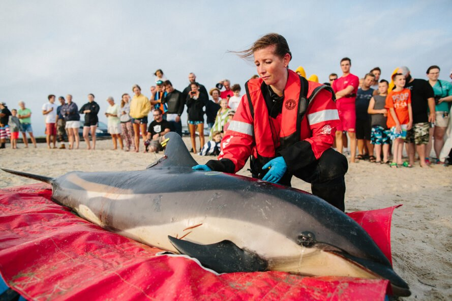 volunteer women wearing red safety jackets help a dolphin