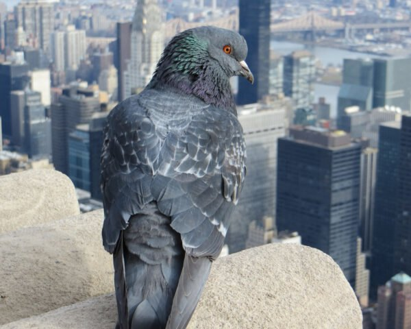 pigeon on top of building with NYC skyline in background