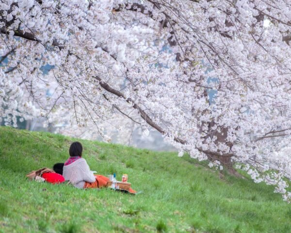 A couple sitting under the sakura tree at park, Enjoy watching Sakura blossom
