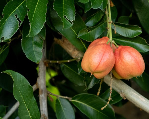 ackee hanging from a tree