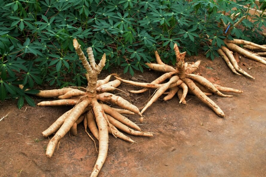 cassava growing in the ground