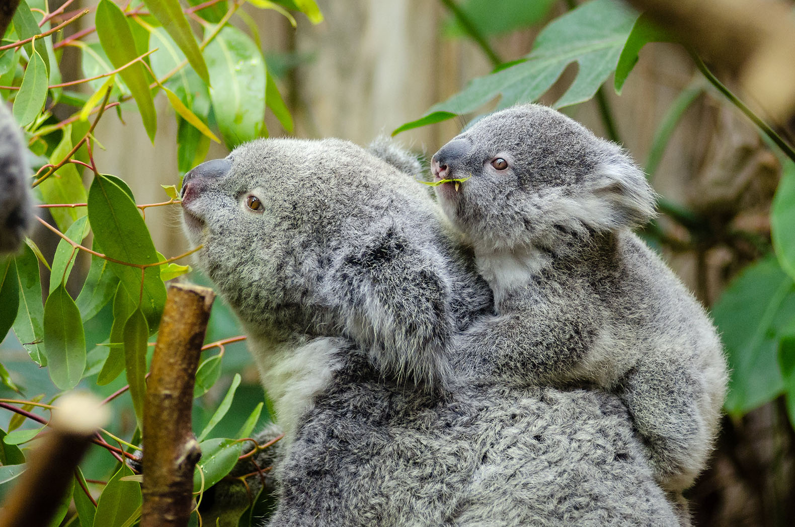"Koalas declared ""functionally extinct"""