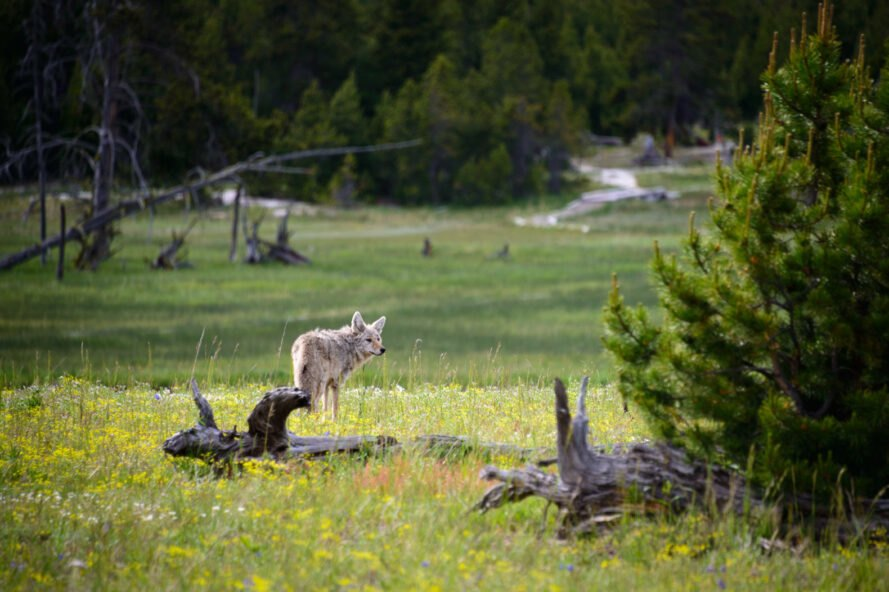 gray wolf in grasslands at Yellowstone National Park in Wyoming