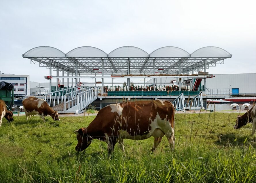 cow grazing on floating dairy farm