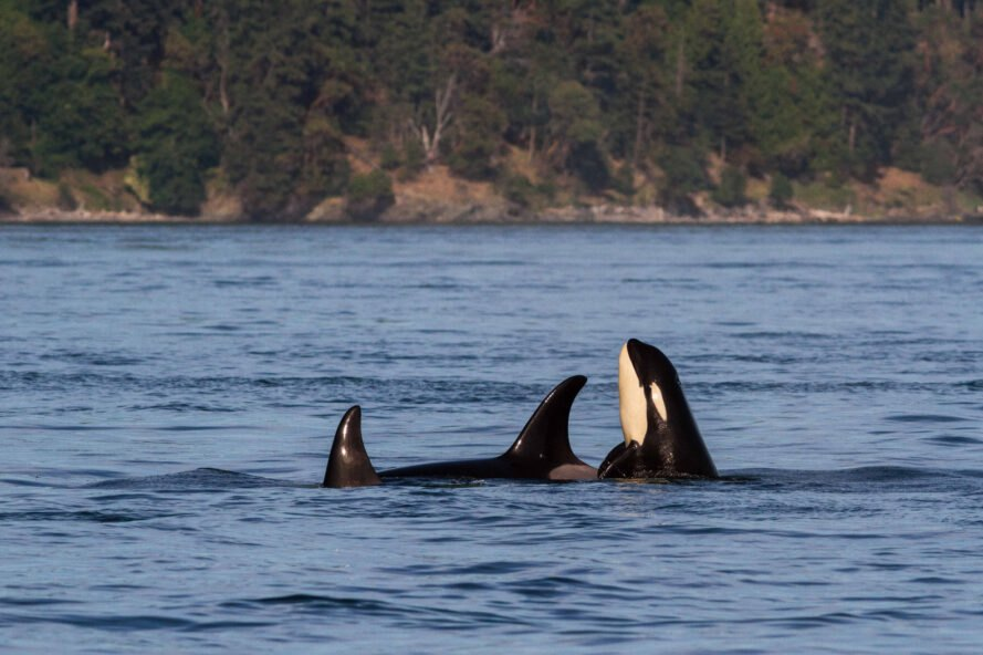 pod of orcas in ocean