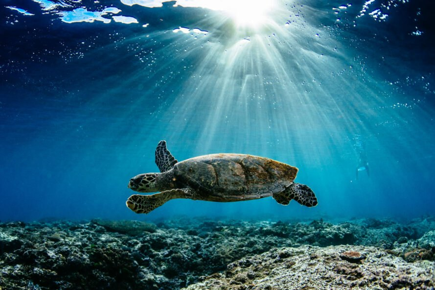 sea turtle swimming in ocean with rays of sunlight