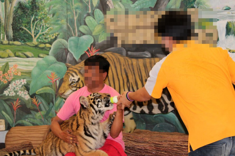 2 men with faces blurred out feed a tiger cub a bottle of milk