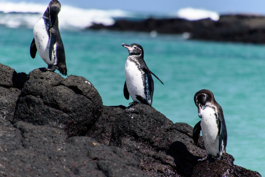 penguins on a rock in Galapagos