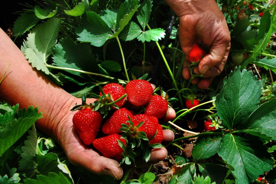hands holding fresh-picked strawberries