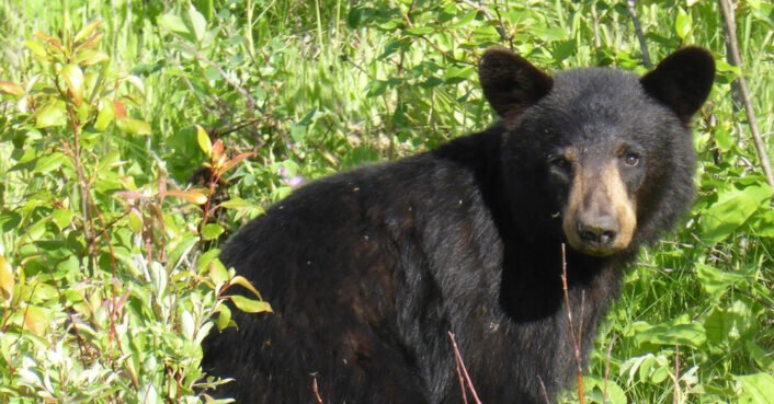 Black bear cub in Oregon euthanized after too much human contact