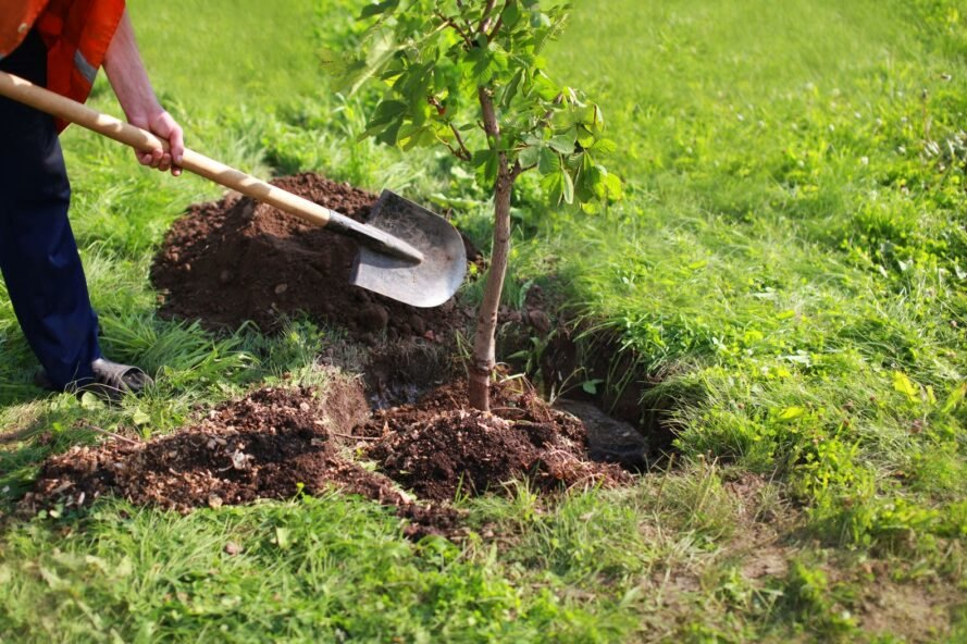 person used shovel to pour soil into planted tree