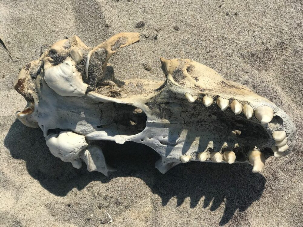 seal skull on a beach