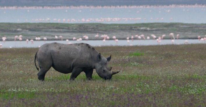 Endangered rhino population up 1000% in Tanzania following