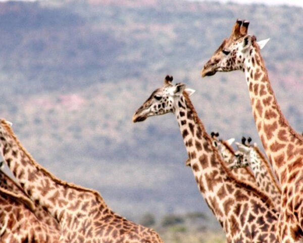Giraffes Win Cites Protection