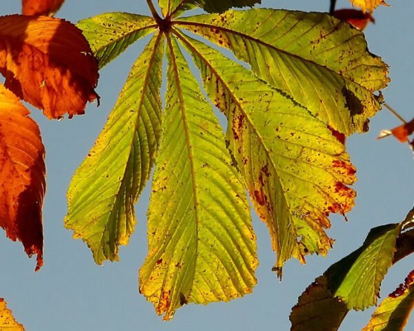 close-up of orange and green leaves of a Horse-chestnut Tree
