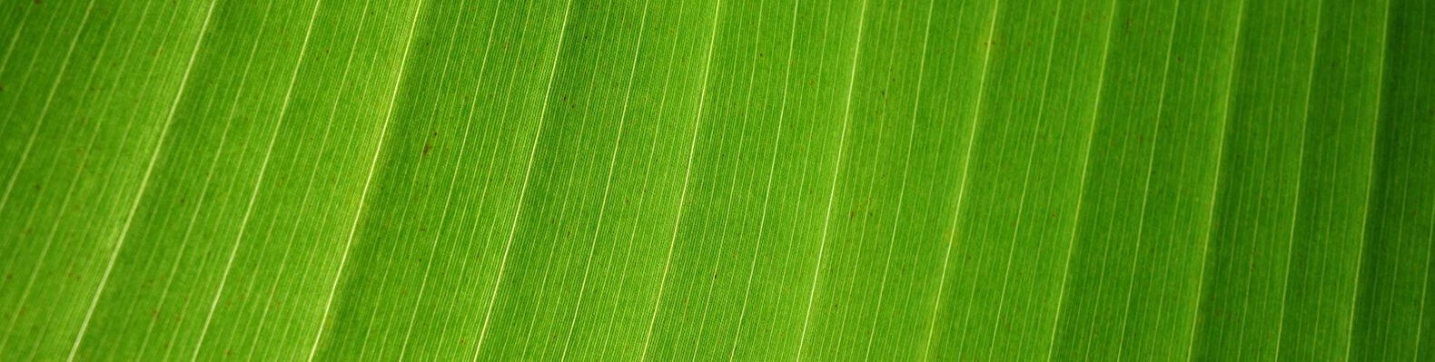 close-up of a banana leaf