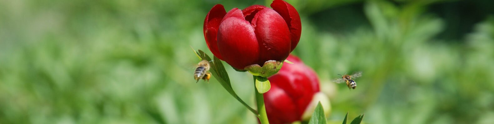 honey bees flying around red flowers