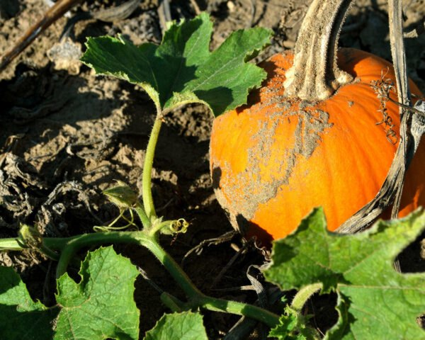 PUMPKINS WITH LOTS OF COLOR AND VERY PRETTY FOR ANYTIME