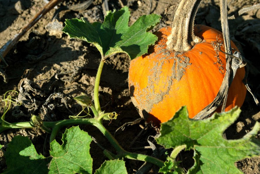 medium-sized pumpkin growing on top of soil