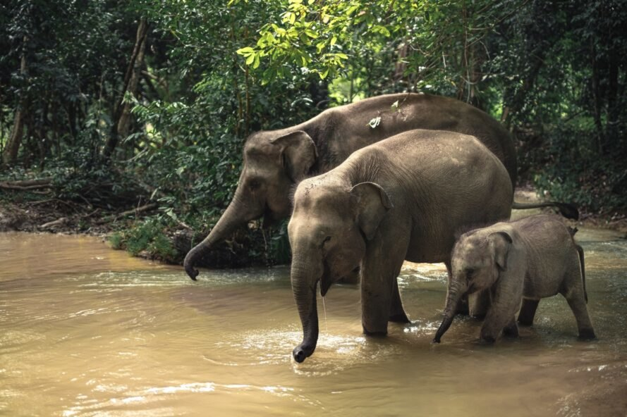 three elephants in water