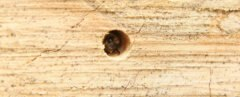 bee peeking out of a hole in a bee hotel