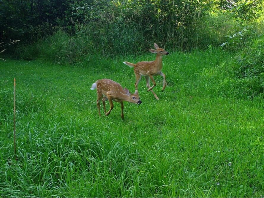trail cam image of two deer