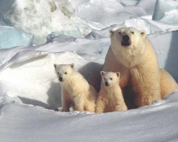 polar bear and cubs in the Arctic Tundra