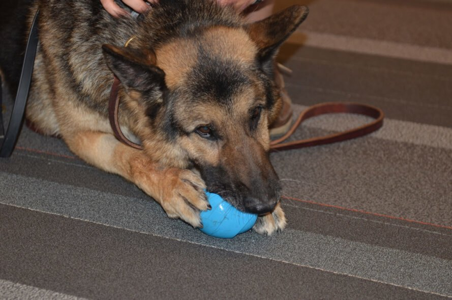 retired military dog chewing on a toy