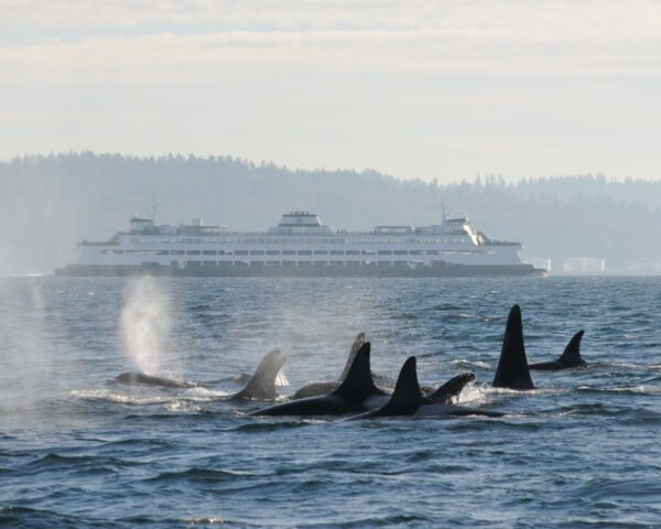 whales and a ferry in the waters of Puget Sound