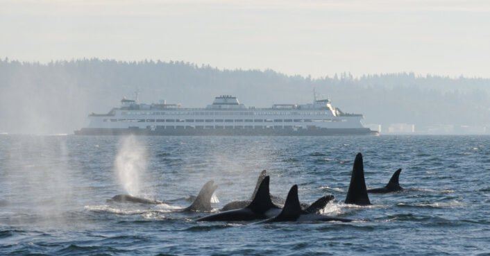 New app could save Puget Sound whales from boat strikes