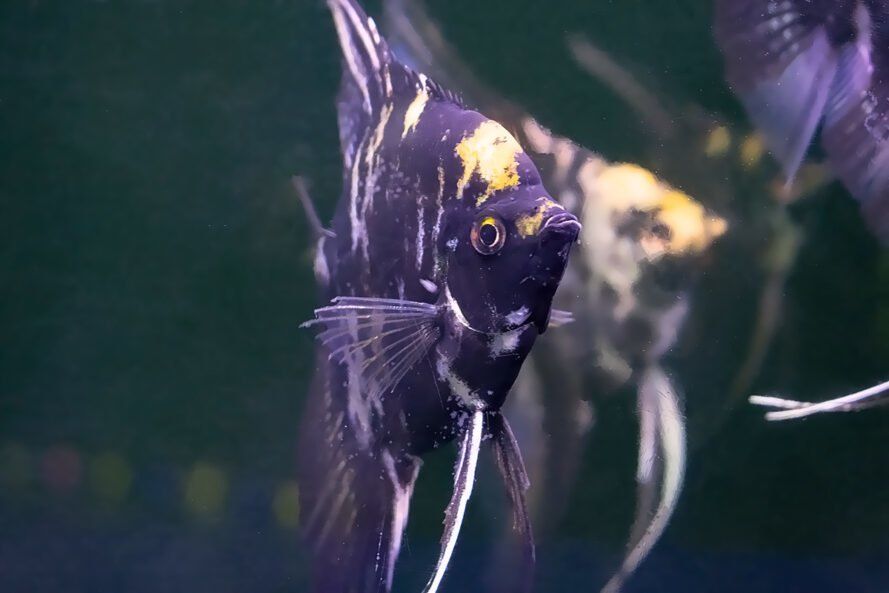 angelfish in a fish tank
