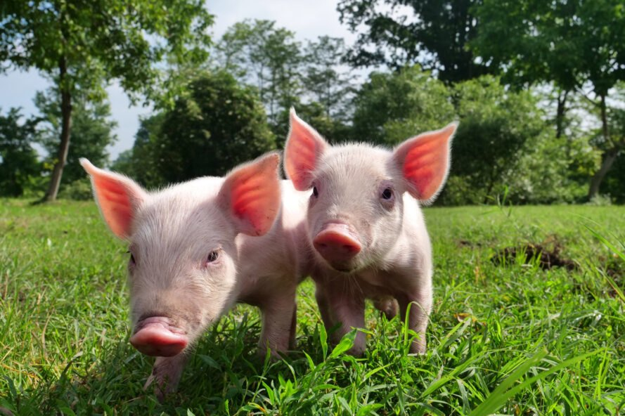 two baby pigs in a field