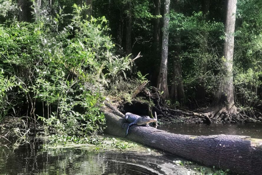 An alligator laying on a fallen tree in the river