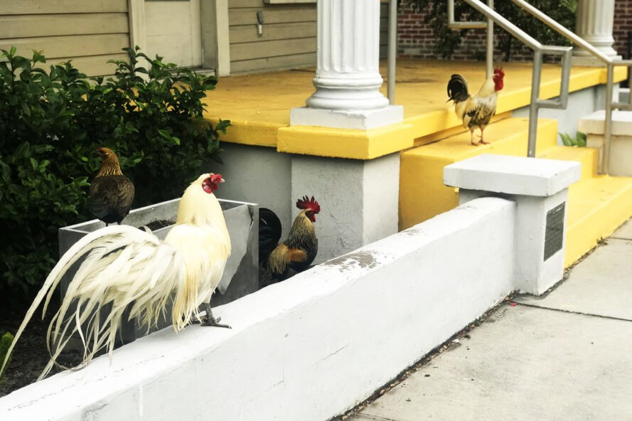 Roosters line the sidewalk next to a building with a yellow porch