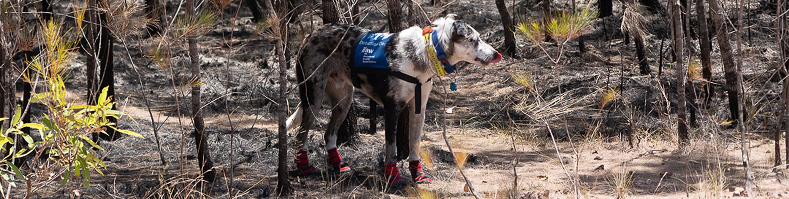 white and gray dog with blue vest and red booties in a forest