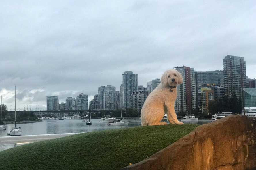 dog on grassy lot with Vancouver skyline in background