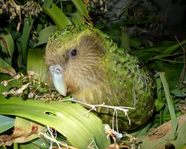 green parrot of the kakapo species on lush forest floor