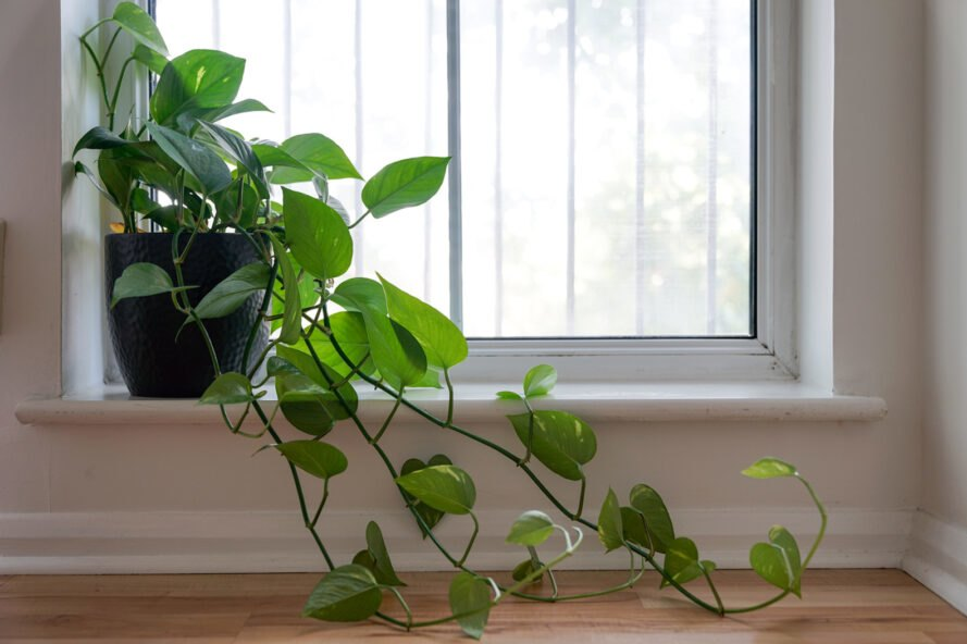 plant with heart-shaped leaves in a windowsill