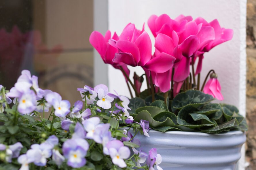 pink flowers in tin pot outside