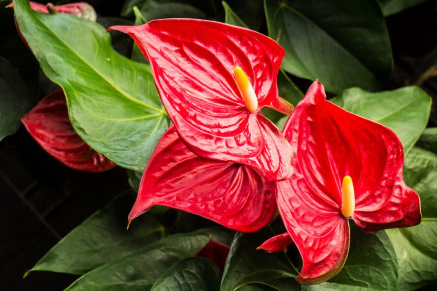 plant with red heart-shaped leaves