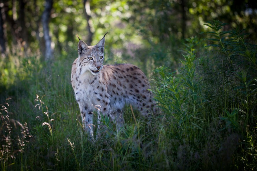 a lynx with teeth bared, surrounded by greenery