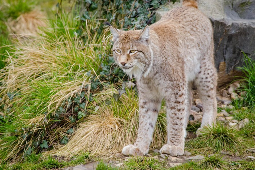 a lynx on the right, looking off into the greenery