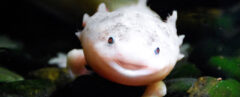 an axolotl facing the camera with its mouth open
