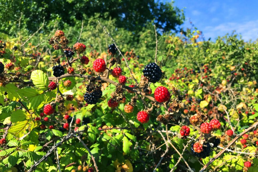 a blackberry bush with both ripe and unripened berries