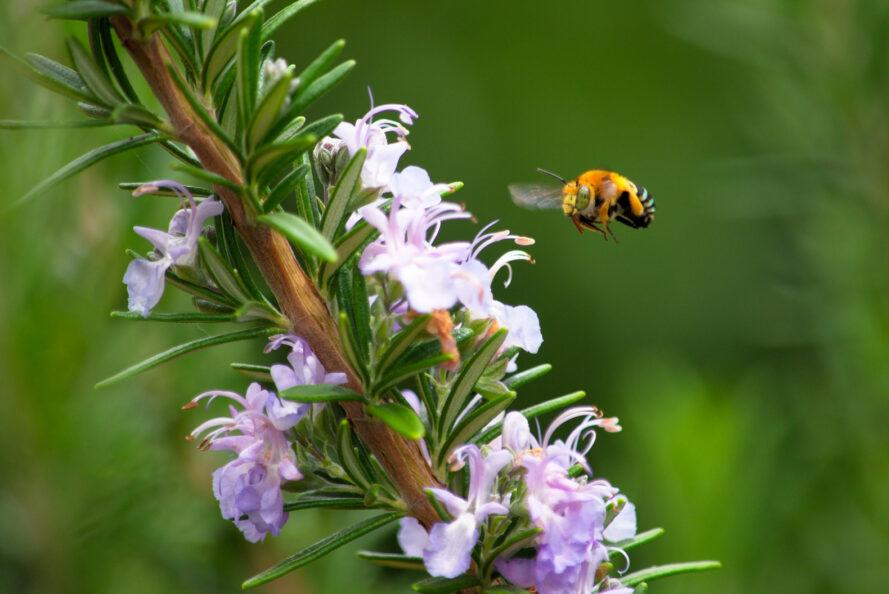 bee flying toward lavender plant