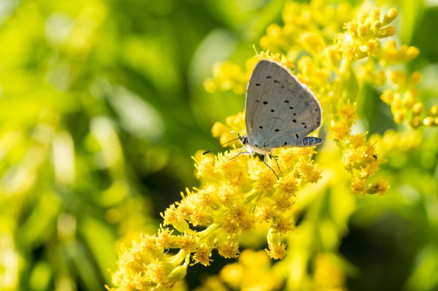 holly blue butterfly on goldenrod plant